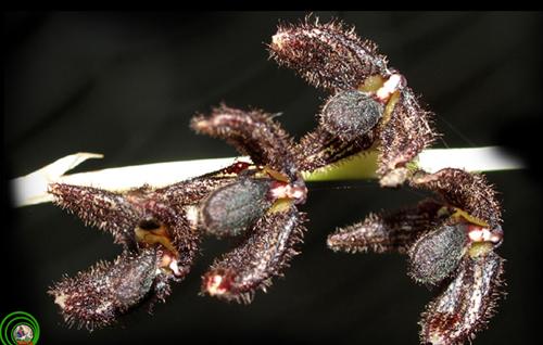 1. Lan lọng đen Bulbophyllum nigrescens Loài lan có cánh hoa rất nhỏ này chỉ được nhìn thấy cánh môi và lông trên hoa của nó dưới ống kính macro. Thường mọc trên độ cao từ 1500m trở lên với những chiếc lá thuôn hình dải, tù ở đỉnh, thuôn ở gốc tạo thành cuống ngắn. Cụm hoa mảnh,nhỏ dài 30  40mm có phấn trắng xếp đều đặn phía đỉnh, mọc chúc xuống, màu đen sậm, cành đài gần giống nhau, có lông mảnh. Cánh tràng có lông nhiều hơn. Cánh môi dạng lưỡi, cong lên và có lông ở mép như một kiệt tác ban tặng của tự nhiên.