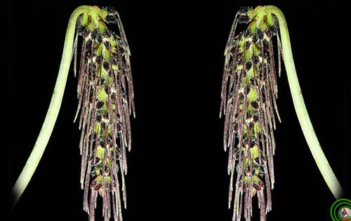 Lan lọng chùm dài Bulbophyllum lemniscatoides Xứng đáng là một kiệt tác của tạo hóa lan lọng chùm dài thoạt nhìn như chiếc khăn chùm đầu nhiều tua màu của các thiếu nữ Arab. Cụm hoa nhỏ xếp sát nhau, màu tím đen, có lông. thuôn, dài, nở xòe ra 3 góc. Cánh môi màu đỏ tía đen, uốn cong. Và có mùi thơm ngào ngạt đáng để cho chúng ta chiêm ngưỡng món quà tặng quí giá của thiên nhiên Việt Nam .