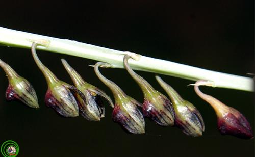 Lan lọng lệch Bulbophyllum secundum Không lộng lẫy khoe sắc như các loài hoa lan khác vì chùm hoa quá nhỏ để mắt thường của chúng ta thưởng lãm. Lan lọng lệch sống phụ sinh, thân rễ mềm. Củ giả dẹt, nhẵn, đỉnh mang 1 lá. Lá hình giảI, thuôn ở gốc thành cuống ngắn. Cụm hoa mảnh, dài, cao hơn lá. Hoa nhiều, nhỏ, xếp về 1 phía. Hoa màu hung đỏ tím đen. Cánh hoa có lông. Cánh môi dạng lưỡi màu đen, có lông ở gờ và thời gian nở hoa của nó quá ngắn để chiêm ngưỡng loài hoa lan này nở hoa và lụi tàn là thước đo sự kiên nhẫn của bạn.