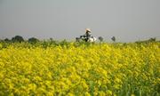 Mùa hoa cải phủ vàng quê lúa Thái Bình
