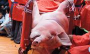 Tổ chức Động vật châu Á: 'Chém lợn ở Việt Nam là lễ hội tàn bạo nhất'