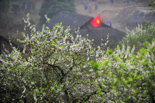 Hoa mận nở bung sắc trắng khắp Mộc Châu