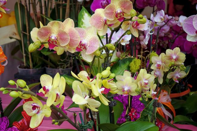 """<p class=""""Normal"""">  Vô vàn loài hoa lan với đủ các màu cho khách hàng lựa chọn. Một chậu lan Australia, với khoảng 50 cành, giá vào khoảng 2.000 USD.</p>"""