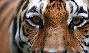 Hổ nhảy lầu mất mạng vì pháo hoa