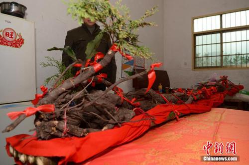 Hà thủ ô khổng lồ hình rồng ở Trung Quốc