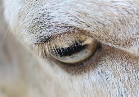sheep-gt-3-1875-1425130658.jpg