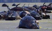 Những nguyên nhân cá voi mắc cạn