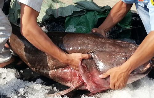 Cá leo nặng 65 kg được đưa về TP HCM tiêu thụ. Ảnh: A.N