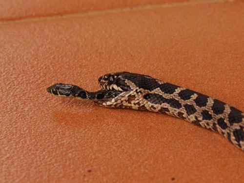 lucky-snake-01-87945-990x742-2373-142563