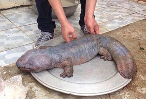 Tranh cãi về loài 'quái thú' ở Vĩnh Phúc