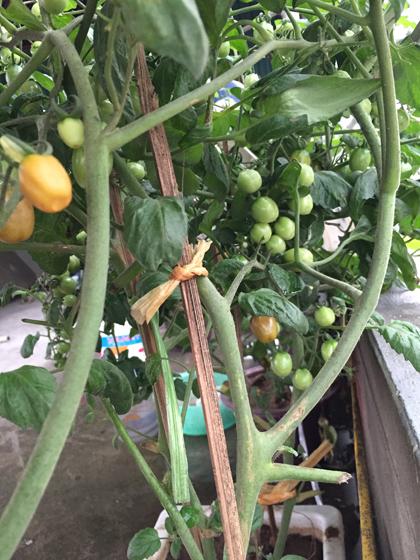 image 1426168488 1322 1426230867 Vườn cây cảnh rau sạch xanh tươi trên tầng thượng