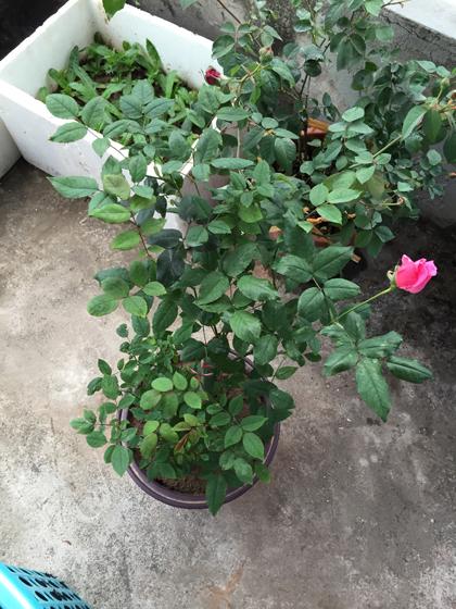 image 1426168679 4956 1426230867 Vườn cây cảnh rau sạch xanh tươi trên tầng thượng