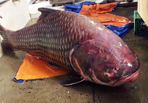 Cá hô dài 1,8 m, nặng 135 kg. Ảnh: H.D