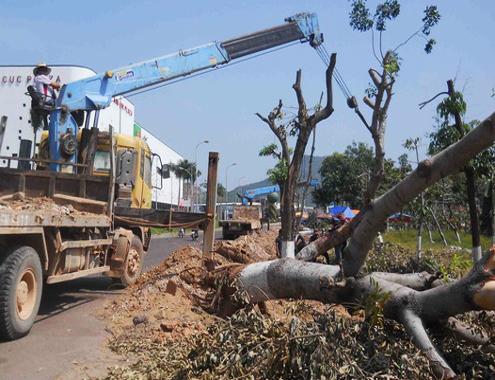 Bình Định bảo vệ gần 1.400 cây xanh khi mở rộng quốc lộ