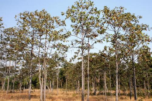 Ngoài ra, với tiềm năng vô cùng lớn kể trên chúng ta có thể tuyển chọn và thuần hoá những loài cây cảnh và bóng mát từ nguồn rừng tự nhiên. Các loài cây có vóc dáng đẹp và sống lâu như các loài thuộc họ Họ Cau dừa (Palmae), họ Dâu tằm (Moraceae), họ Tre (Bambusoideae), họ Dầu (Dipterocarpaceae), họ Côm (Elaeocarpaceae), họ Xoan (Meliaceae), họ Bồ hòn (Sapindaceae), nhóm Hạt trần & Và cũng có thể một trong số chúng sẽ trở thành loài cây cảnh, bóng đặc trưng của Thủ đô Hà Nội, và của Việt Nam.