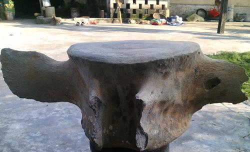 Đốt xương hóa thạch được cho là của một loài cá voi, nặng 20 kg. Ảnh: Đức Hùng