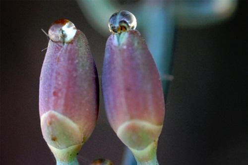 Ephedra foemicia cones, with pollination drop