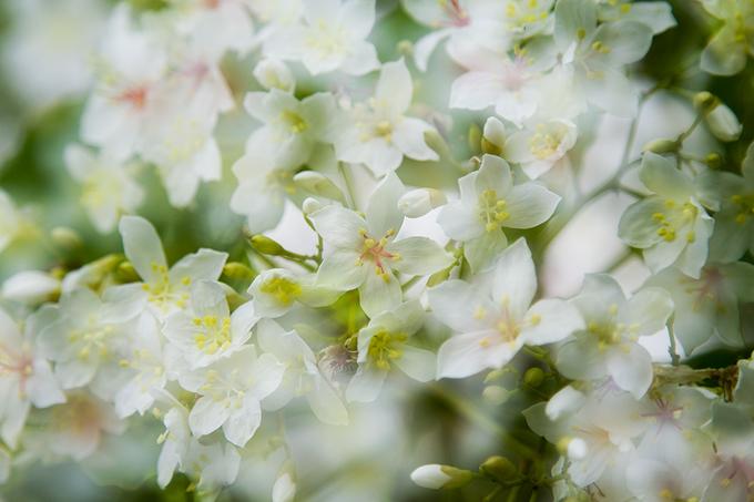 Hoa trẩu sáng bừng miền tây Quảng Trị