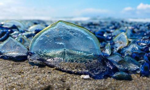 Một tỷ con sứa xanh dạt vào bờ biển Mỹ