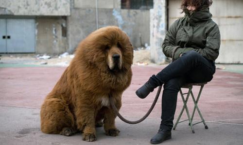 Chó ngao Tây Tạng hết thời, bị đưa vào lò mổ