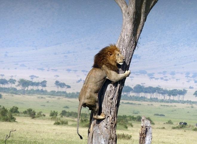 Sư tử trèo lên cây để trốn trâu rừng