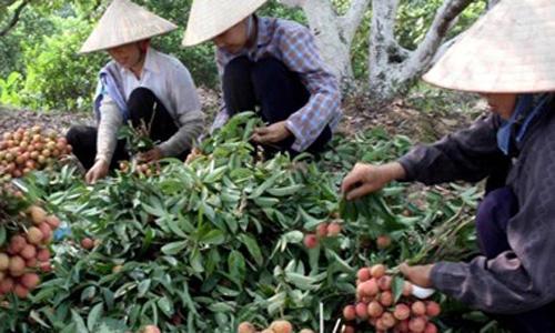 Dùng công nghệ bảo quản mới để xuất quả vải ra 6 nước