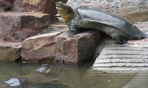Thụ tinh cho rùa hiếm 100 tuổi