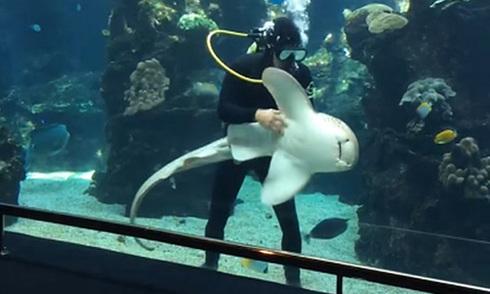 Cá mập báo thích thú khi được gãi bụng