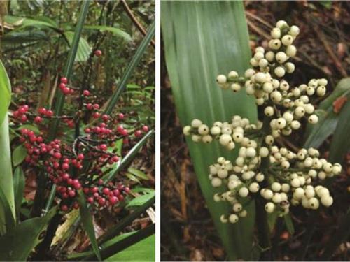 Hanguana-rubinea-left-and-Hang-9124-5811
