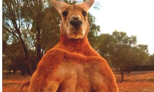 Kangaroo lực sĩ bóp nát xô sắt