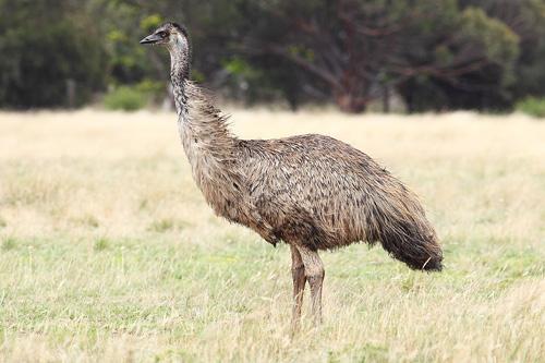 1024px-Emu-wild-8669-1433931141.jpg