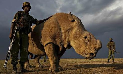 Con tê giác đực duy nhất quyết định số phận của loài