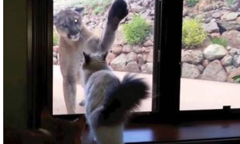 Mèo nhà trừng mắt đuổi sư tử hoang