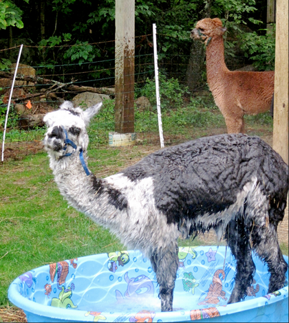 alpaca-flickr-ellenm1-9544-1435896170.pn