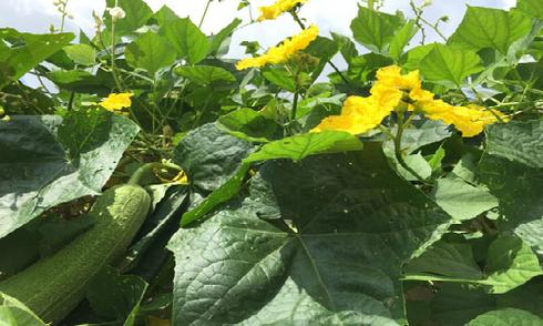 Vườn rau sạch trong không gian nhỏ trên sân thượng