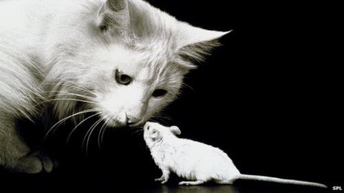 Mèo kiểm soát chuột nhờ vũ khí hóa học trong nước tiểu