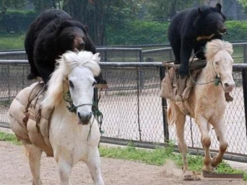 Gấu cưỡi ngựa để đua.