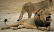 Sư tử nổi tiếng nhất Zimbabwe mất mạng vì bị săn trộm