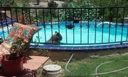 Gấu hoang đột nhập bể bơi tắm mát