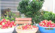Vườn rau quả Việt trên nóc nhà Đức