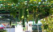 Vườn rau trên sân thượng nhà phố  Quy Nhơn
