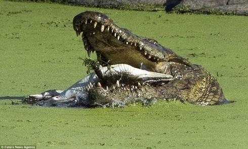 Cá sấu nuốt chửng đồng loại