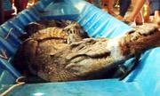 Hàng chục người bắt cá sấu hơn 50 kg trong vuông tôm