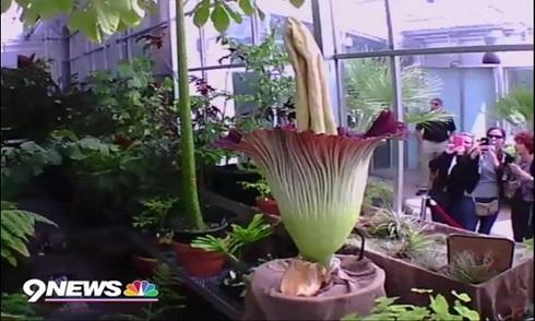 Hoa xác thối nở ở Mỹ
