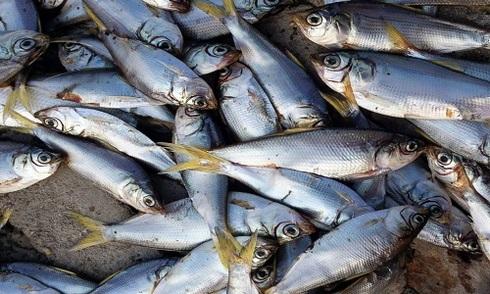 Hàng nghìn cá chết sau vụ nổ Thiên Tân