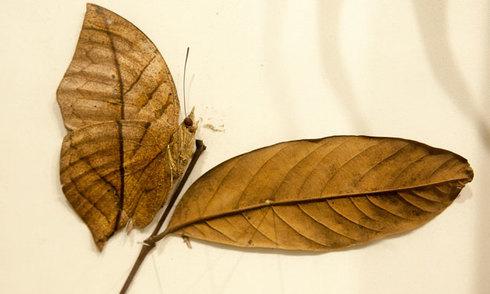 Những loài bướm đẹp, lạ nhất ở Việt Nam