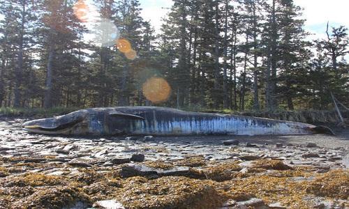 VNE-Why-did-30-whales-die-in-t-1153-5875