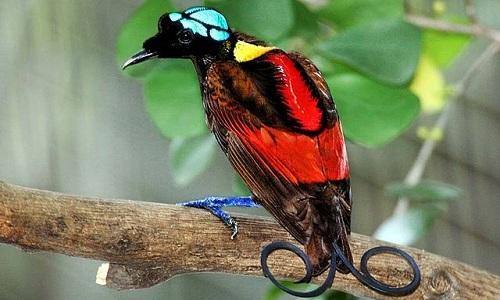 VNE-Wilson-s-bird-of-paradise-1783-14404