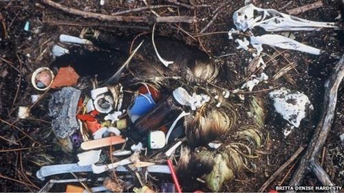 Chim biển chết dần vì nuốt rác nhựa