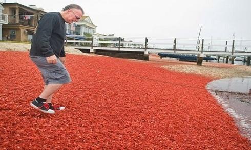 Cua mắc cạn nhuộm đỏ bờ biển California